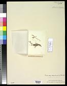 view Wrangelia myriophylloides Harv. digital asset number 1
