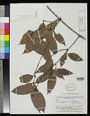 view Quiina negrensis A.C. Sm. digital asset number 1