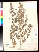 view Chenopodium berlandieri subsp. zschackei var. glaucoviride Aellen digital asset number 1