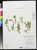 view Selaginella subrugosa Mickel digital asset number 1