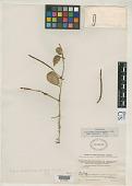 view Peperomia stelecophila var. glabrata Trel. digital asset number 1
