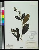 view Aegiphila reticulata Moldenke digital asset number 1