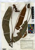view Elaphoglossum buchtienii Rosenst. digital asset number 1