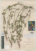 view Agastache verticillata Wooton & Standl. digital asset number 1