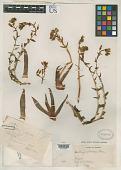 view Dudleya collomiae Rose ex C.V. Morton digital asset number 1