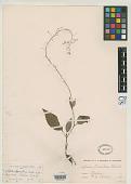 view Lobelia tarsophora Seaton ex Greenm. digital asset number 1