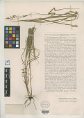 view Scleria luzonensis Palla digital asset number 1