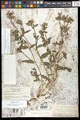view Mentzelia albicaulis var. integrifolia S. Watson in C. King digital asset number 1