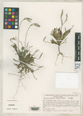 view Elytraria mexicana Fryxell & S.D. Koch digital asset number 1