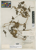 view Dioscorea chimborazensis R. Knuth digital asset number 1