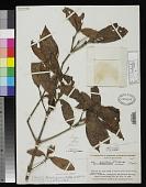 view Lacunaria coriacea A.C. Sm. digital asset number 1