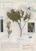 view Juniperus deppeana var. sperryi Correll digital asset number 1