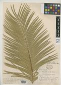 view Cycas circinalis f. graminea J. Schust. in Engl. digital asset number 1