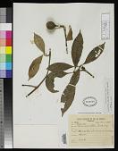 view Lacunaria pauciflora Ducke digital asset number 1