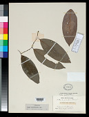 view Artanthe apiculata Klotzsch in Benth. digital asset number 1