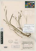 view Carex atractodes F.J. Herm. digital asset number 1