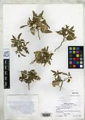 view Physalis virginiana var. nana Waterf. digital asset number 1