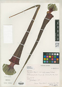 view Sarracenia flava var. rubricorpora Schnell digital asset number 1