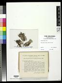 view Cladonia libifera Savicz digital asset number 1