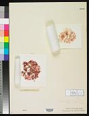 view Martensia denticulata Harv. digital asset number 1