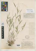 view Panicum pacificum Hitchc. & Chase digital asset number 1
