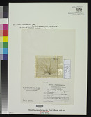 view Pseudobryopsis blomquistii Diaz-Piferrer digital asset number 1