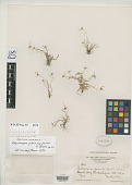 view Rhynchospora pubera subsp. parvula W.W. Thomas digital asset number 1