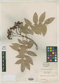 view Sorbus conradinae Koehne in Sarg. digital asset number 1