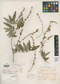 view Tephrosia mexicana C.E. Wood digital asset number 1