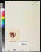 view Nitophyllum ciliolatum Harv. digital asset number 1