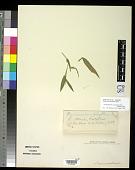 view Panicum comophyllum Nash digital asset number 1