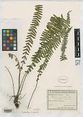 view Asplenium auricularium var. subintegerrimum Rosenst. digital asset number 1