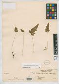 view Currania gracilipes Copel. digital asset number 1