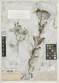 view Zaluzania mollissima A. Gray digital asset number 1
