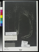 view Muhlenbergia pungens Thurb. ex A. Gray digital asset number 1