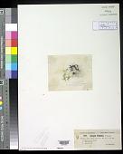view Spirogyra illinoiensis Transeau digital asset number 1