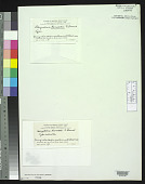 view Schizothrix hancockii F.E. Drouet digital asset number 1