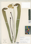 view Sarracenia minor var. okefenokeensis Schnell digital asset number 1