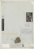 view Paepalanthus rupestris Gardner digital asset number 1