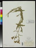 view Mentzelia aurea Osterh., nom. illeg. digital asset number 1