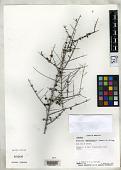 view Rondeletia anguillensis R.A. Howard & E.A. Kellogg digital asset number 1