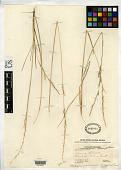 view Helictotrichon umbrosum var. micrantherum C.E. Hubb. digital asset number 1
