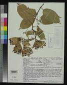 view Passiflora crenata Feuillet & Cremers digital asset number 1