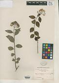 view Spiraea fritschiana var. angulata Rehder in Sarg. digital asset number 1
