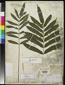 view Polybotrya marattioides Brack. in Wilkes digital asset number 1