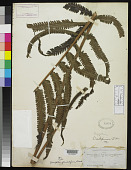 view Goniopteris glandulifera Brack. in Wilkes digital asset number 1