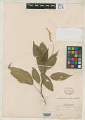 view Schindleria rosea H. Walter in Engl. digital asset number 1