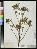 view Ferula angulata Schltdl. digital asset number 1