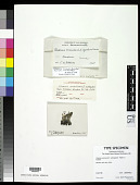 view Cladonia carassensis f. subregularis Vain. ex Robbins digital asset number 1