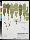view Clermontia persicifolia Gaudich. digital asset number 1